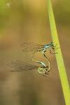 Šidélko větší (Ischnura elegans)