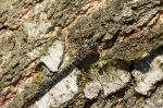 Šídlo rašelinné (Aeshna subarctica)