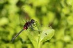 Vážka čárkovaná ( Leucorrhinia dubia)