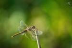 Vážka jarní (Sympetrum fonscolombii)