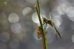Lesklice měděná (Cordulia aenea)
