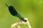 Motýlice lesklá(Calopteryx splendens)