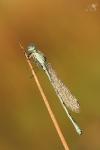 Šidélko kroužkované (Enallagma cyathigerum)