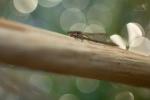 Šídlatka hnědá (Sympecma fusca)