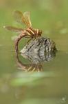 Šídlo velké (Aeshna grandis)