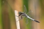 Vážka bělořitná (Orthetrum albistylum)
