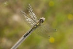 Vážka běloústá(Leucorrhinia albifrons)