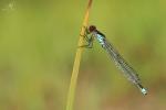 Šidélko rudoočko (Erythromma najas)