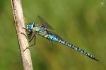 Šídlo rákosní (Aeshna affinis)