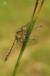 Vážka černořitná (Orthetrum cancellatum)