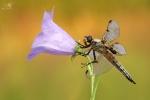 Vážka čtyřskvrnná,♀