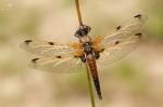 Vážka čtyřskvrnná, ♀