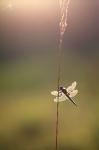 Vážka čtyřskvrnná, ♂