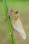 Vážka čtyřstvrnná, ♀