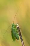 Kobylka cvrčivá, ♂
