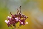 Kobylka křovištní, ♀