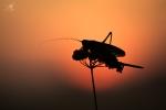 Kobylka zpěvavá, ♀