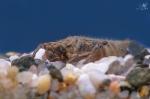 Páskovec kroužkovaný (Cordulegaster boltonii)