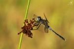 Vážka běloústá (Leucorrhinia albifrons)