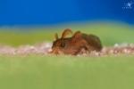 Čolek horský, larva