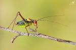 Kobylka smrková, ♂
