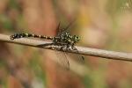 Klínatka vidlitá (Onychogomphus forcipatus)