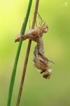 Lesklice mědená (Cordulia aenea)