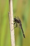 Vážka jasnoskvrnná (Leucorrhinia pectoralis)