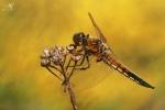 Vážka čtyřskvrnná (Libellula quadrimaculata)