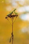 Kudlanka nábožná (Mantis religiosa), ♀