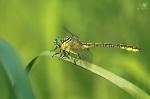 Klínatka žlutonohá (Gomphus flavipes)