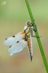 Vážka čtyřskvrnná ( Libellula quadrimaculata)
